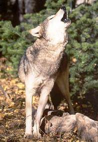 howling-timber-wolf.jpg