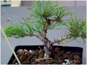 Mugo pine that I finally got into a good form