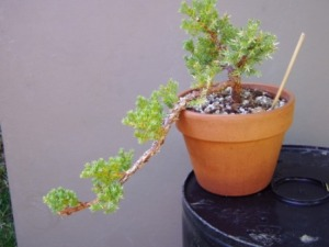 Juniper in semi-cascade
