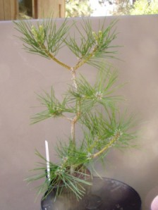 Japanese White Pine... haven't done anything yet