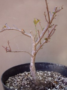 a plum that I am trying to re-foliate